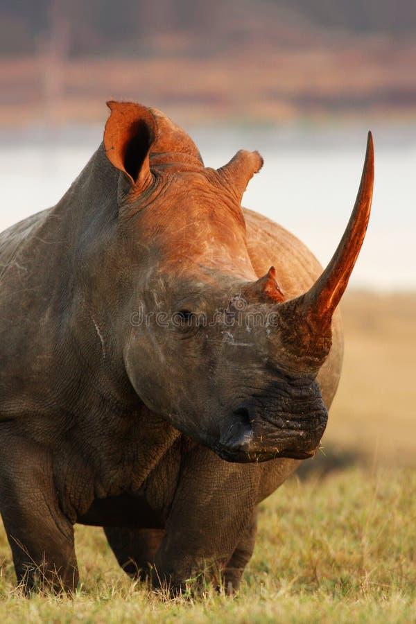 Pose de rhinocéros images libres de droits
