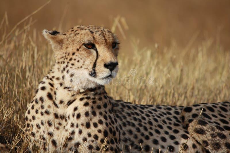 Pose del ghepardo immagini stock libere da diritti