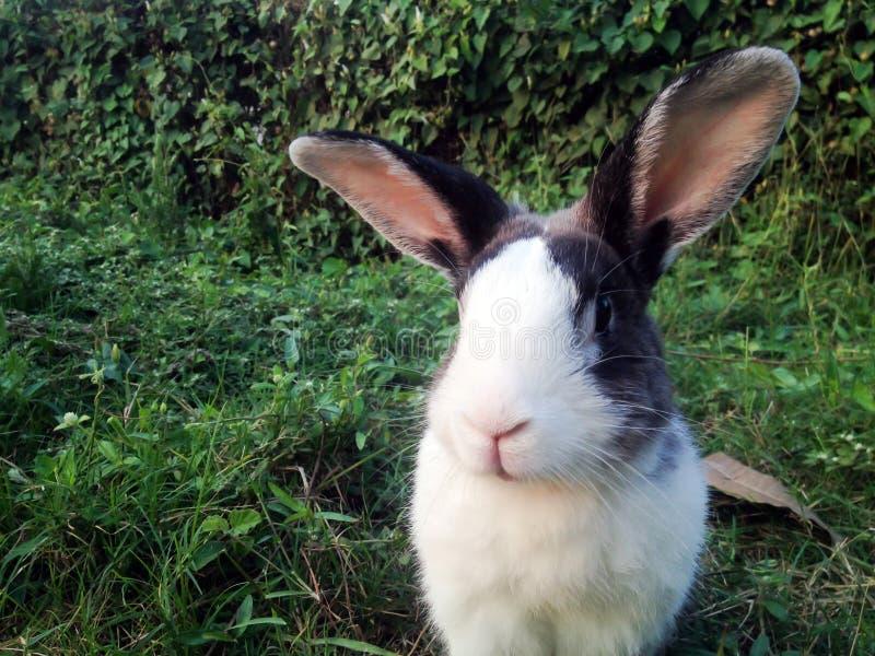 Pose do coelho no fundo da grama verde imagens de stock
