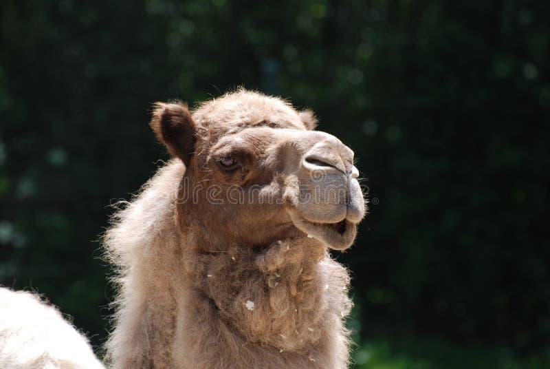 Pose du chameau de dromadaire avec un fond des arbres photo stock