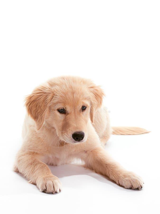 Pose du chien d'arrêt d'or de chiot photos stock