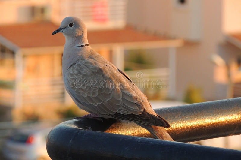 Pose du pigeon photographie stock