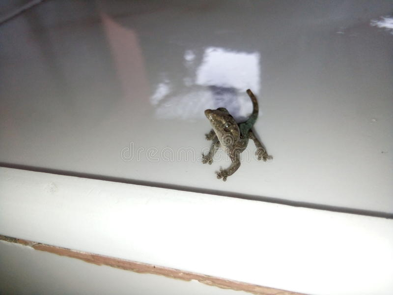 Pose. Lizards animal poser photography royalty free stock image