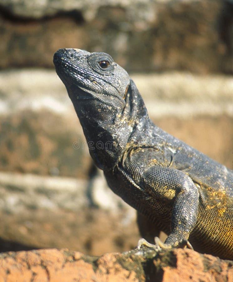 Pose messicane di un'iguana per il fotografo fotografia stock