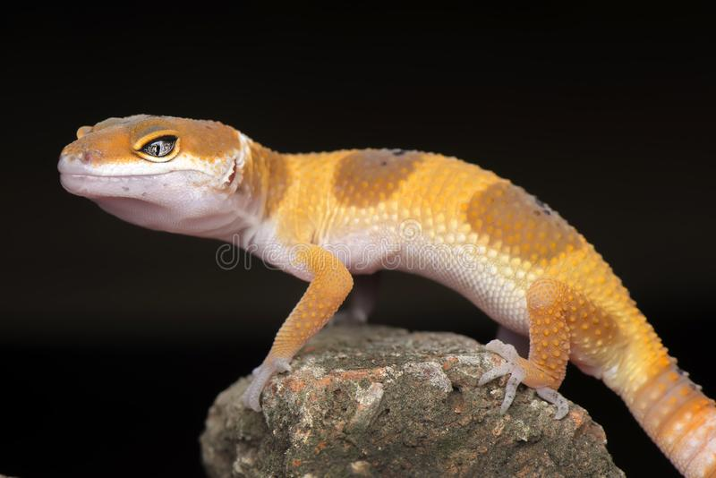 Pose  on rock. Gecko, animal, orange, indonesia, wild, pet, nopeople, eye, small, color, sunlight, close, angry, little stock photography