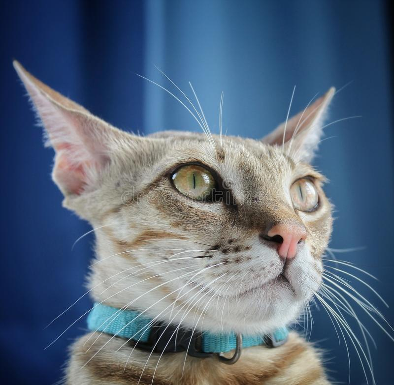 Poser cat. Beautiful, closeup, adorablelooks stock photos