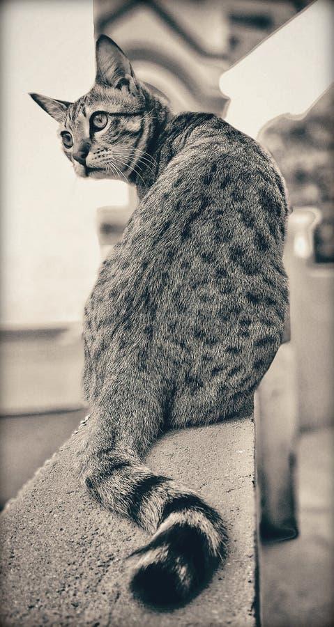 Poser cat. Loveanimal, animallover, iloveanimals royalty free stock photos