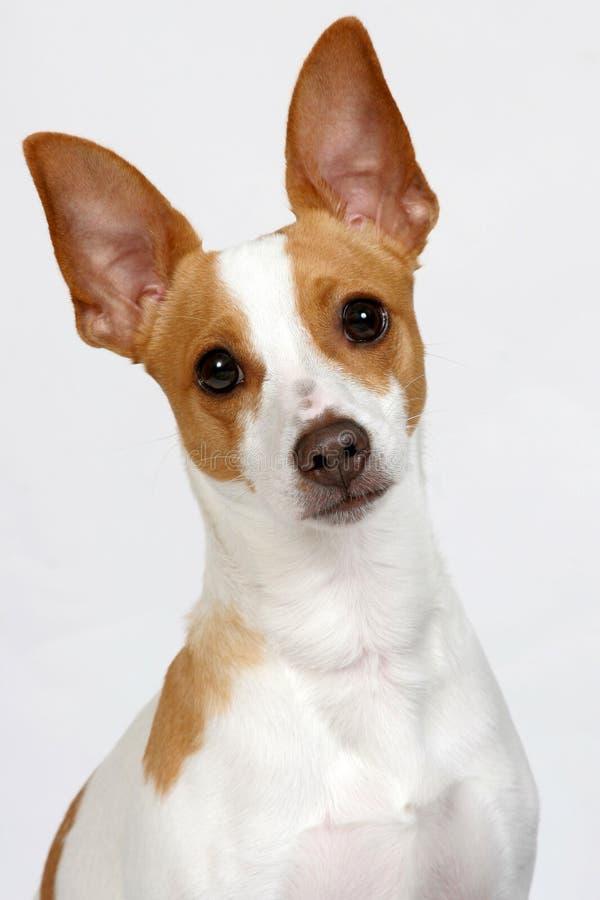 Poser del cucciolo fotografia stock libera da diritti