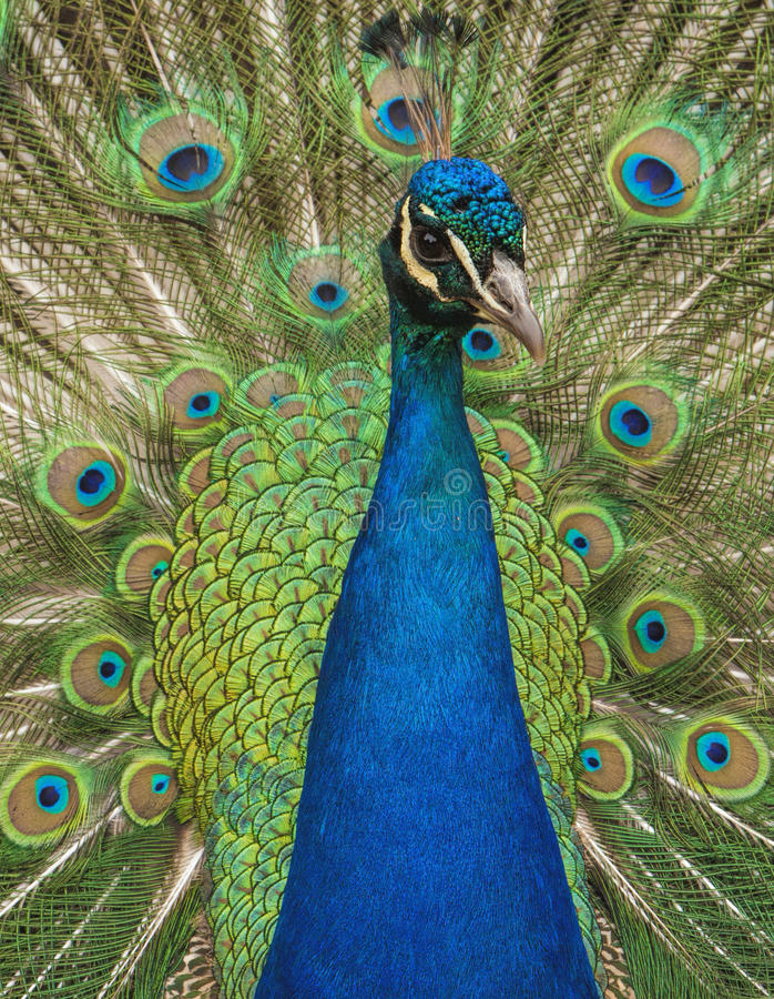The Poser. Male peacock in pose mode stock photo