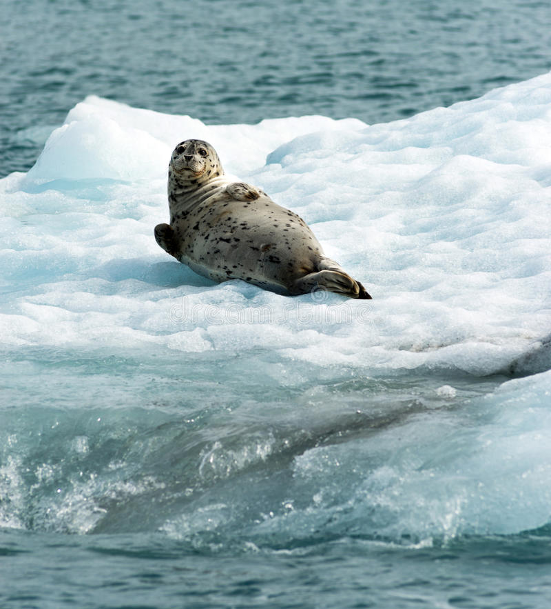 Poser Sea Lion Laying on Iceberg North Pacific Ocean. This Sea Lion appear to know he is being photographed a wild animal aying on ice in the Pacific Ocean royalty free stock image