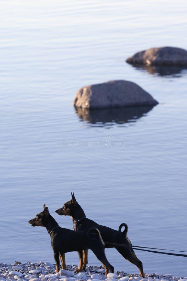 posera för hundar royaltyfri bild