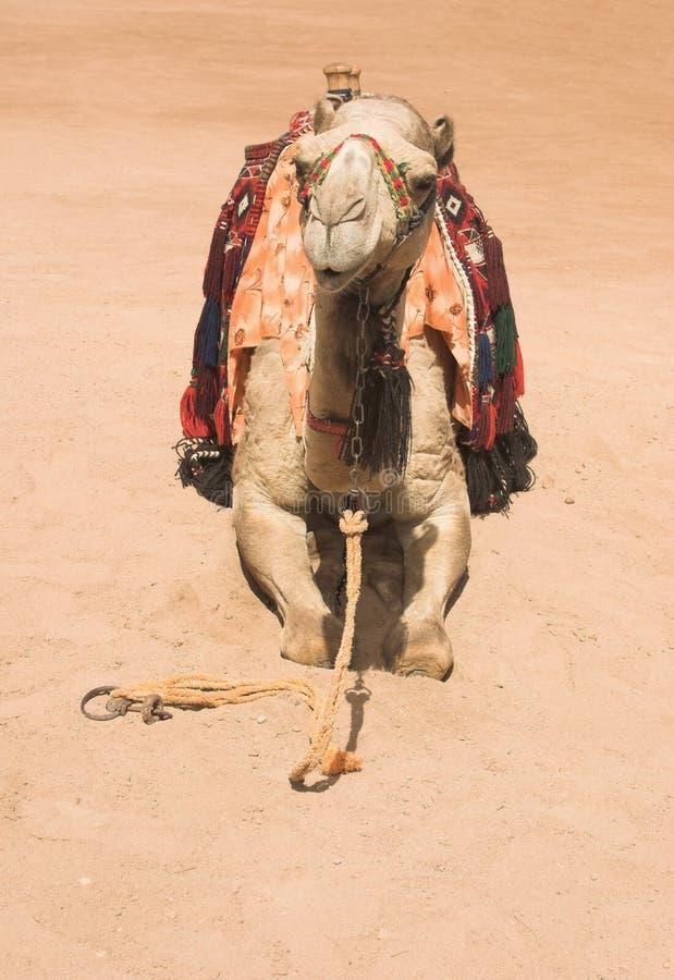 posera för kamel fotografering för bildbyråer