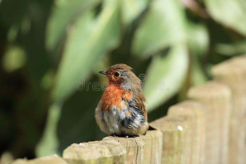 posera robin för fågel fotografering för bildbyråer