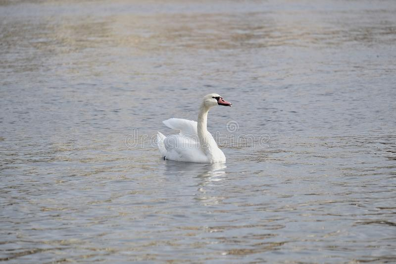 Poses blanches de cygne pour le photographe photographie stock libre de droits