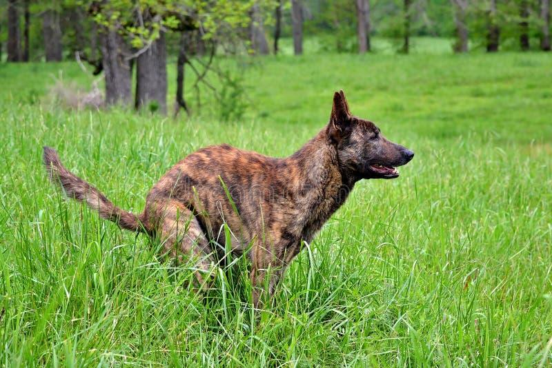 Poses de um cão da exploração agrícola para sua foto em um campo imagem de stock royalty free