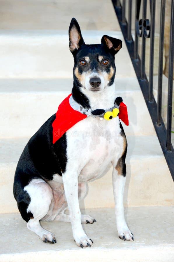 Poses do cão vestidas acima em um traje de Dia das Bruxas imagem de stock royalty free