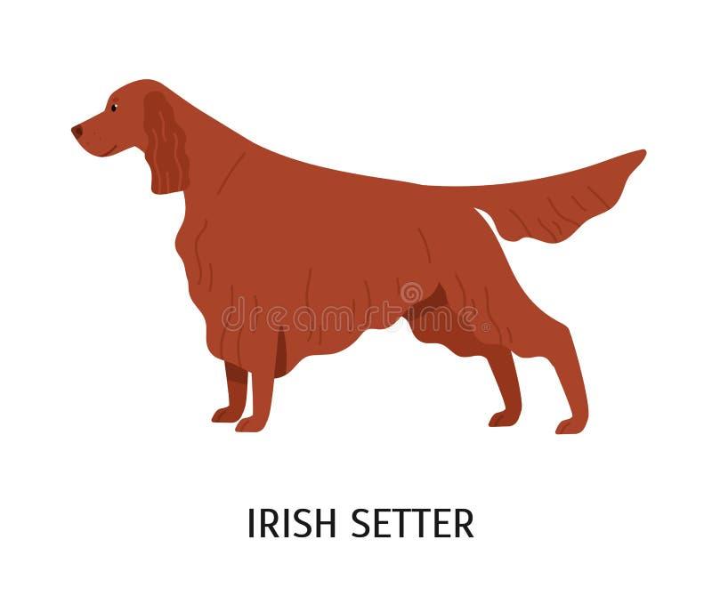 Poseur irlandais Chien mignon de stupéfaction de chasser la race ou le chien de chasse d'isolement sur le fond blanc Animal de ra illustration de vecteur