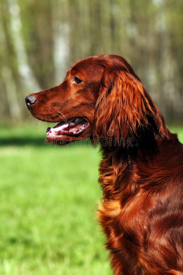 Poseur irlandais de beau chien images libres de droits