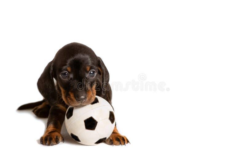 Posição adorável do bassê do cão de cachorrinho com a bola do brinquedo do futebol isolada no fundo branco fotos de stock royalty free