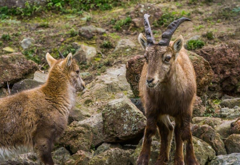 Posição alpina fêmea ao lado de sua criança, cabras selvagens da mãe do íbex dos cumes europeus fotos de stock