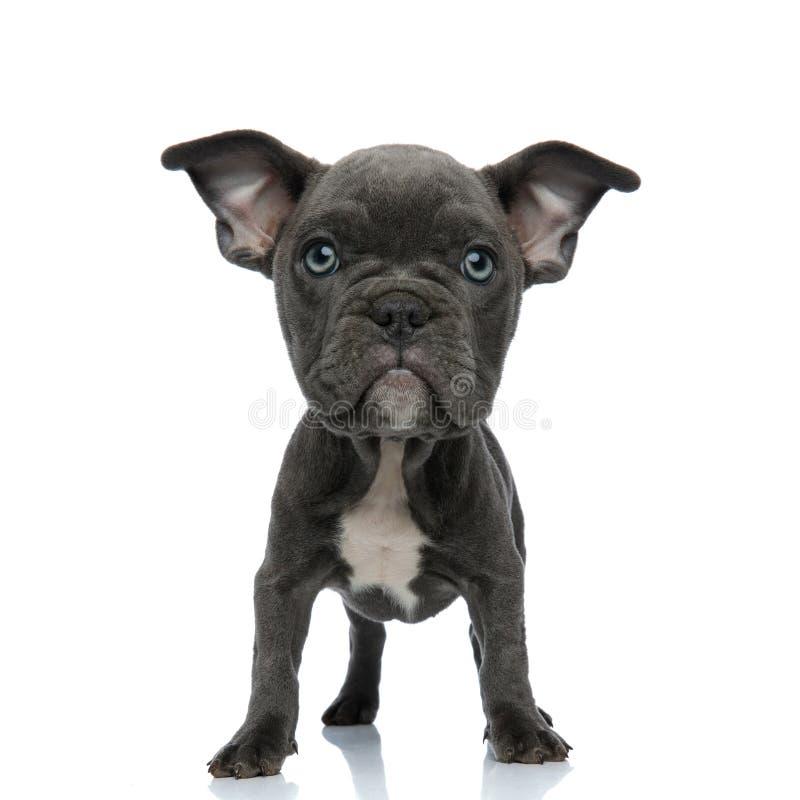 Posição americana dirigida grande do cachorrinho da intimidação do alerta imagem de stock