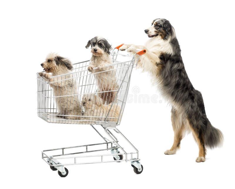 Posição australiana do pastor nos pés traseiros e empurrão de um carrinho de compras com os cães contra o fundo branco fotos de stock royalty free