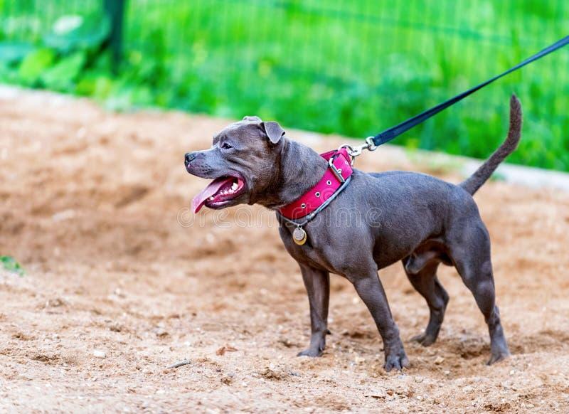 Posição azul de Staffordshire bull terrier do inglês no campo de jogos do cão imagem de stock