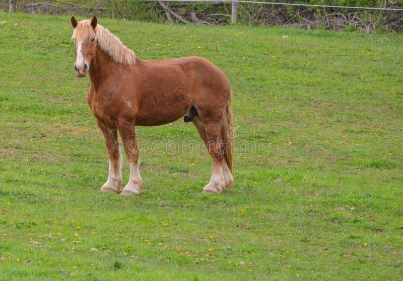 Posição belga do cavalo de esboço no perfil fotografia de stock royalty free