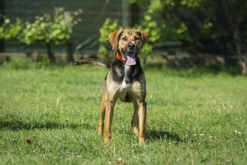 Posição bonita do cão do híbrido na grama com a língua que cola para fora a vista à direita fotografia de stock