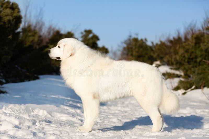 Posição bonita do cão pastor do maremmano-abruzzesse na neve no retrato da floresta do cão macio italiano branco grande imagens de stock