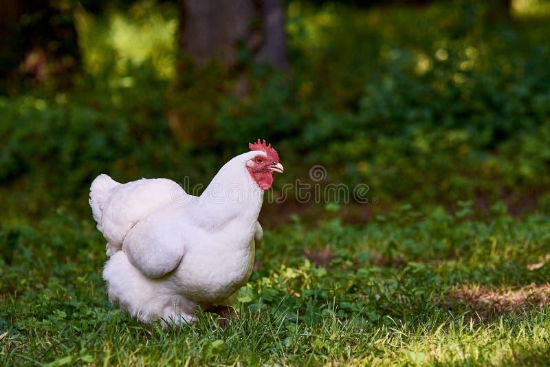 Posição branca da galinha ou da galinha no jardim ou no prado na grama verde imagens de stock