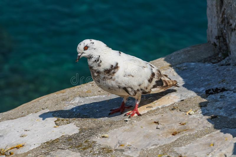 Posição branca do pombo na parede de pedra da fortaleza em Dubrovnik fotos de stock royalty free