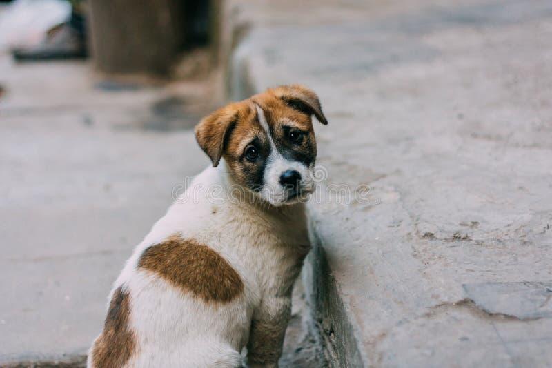 Posição branca e marrom triste do cão disperso em uma estrada que olha para trás foto de stock royalty free