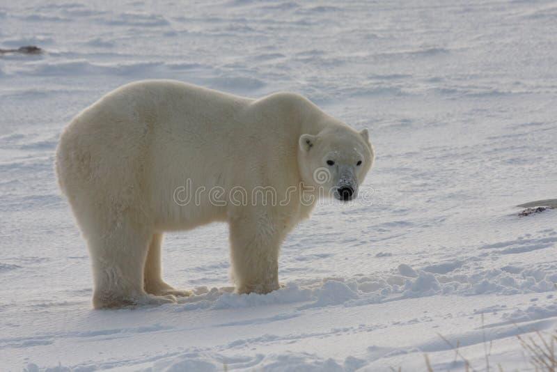 Posição clássica do urso polar fotos de stock