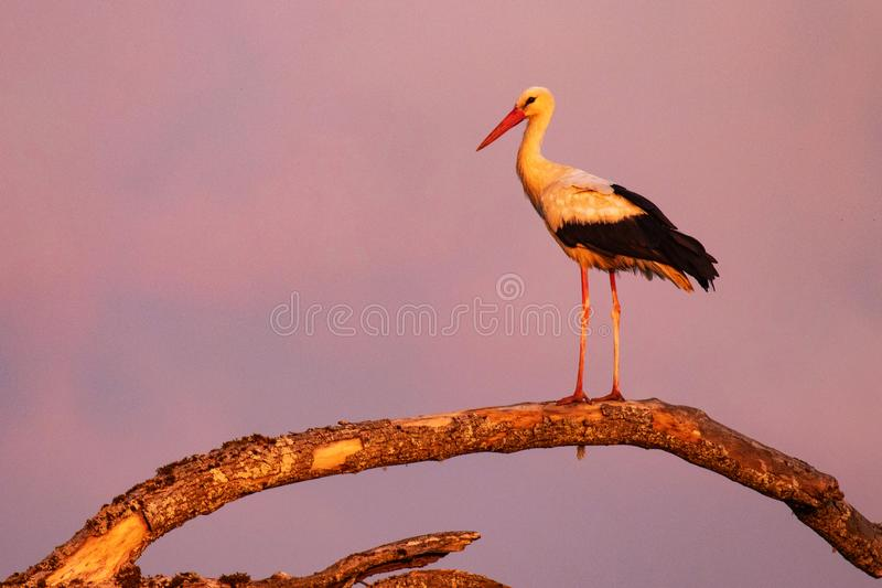 Posição da cegonha branca em um ramo durante o por do sol foto de stock royalty free