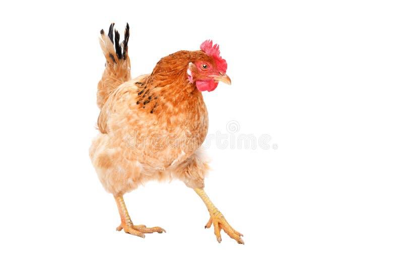 Posição da galinha do gengibre fotografia de stock