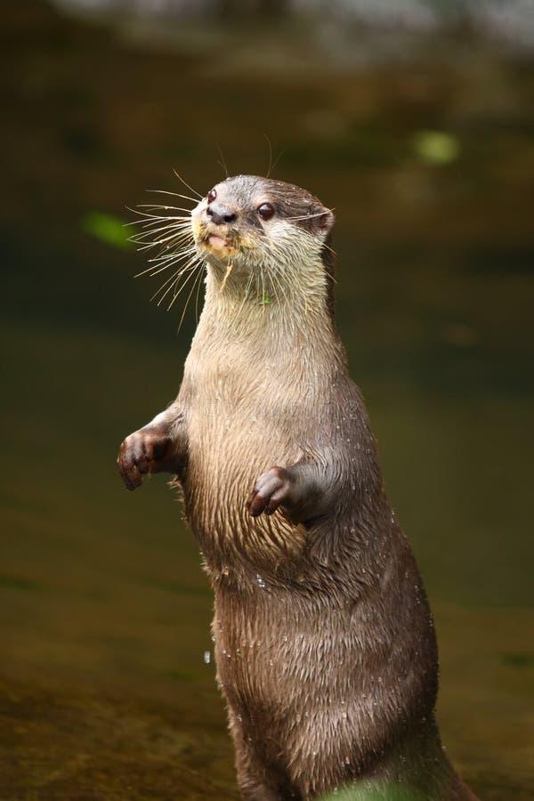 Posição da lontra fotografia de stock