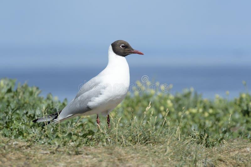 Posição de cabeça negra da gaivota na grama fotos de stock royalty free