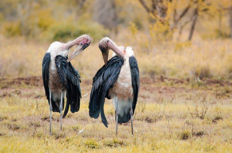 Posição de dorso branco adulta do africanus de dois gyps dos abutres na grama, no parque nacional de Kruger, um jogo fotografia de stock royalty free
