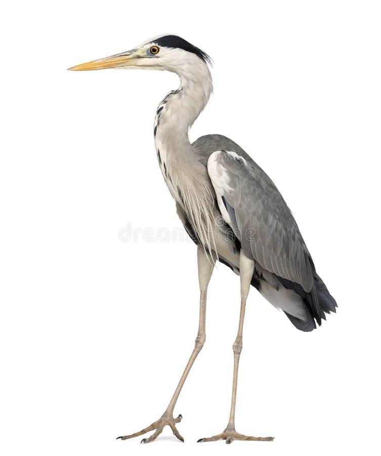 Posição de Grey Heron, Ardea Cinerea, 5 anos velho imagem de stock