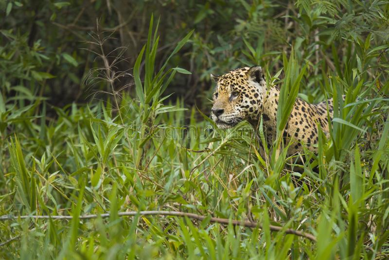 Posição de Jaguar na vegetação alta imagem de stock