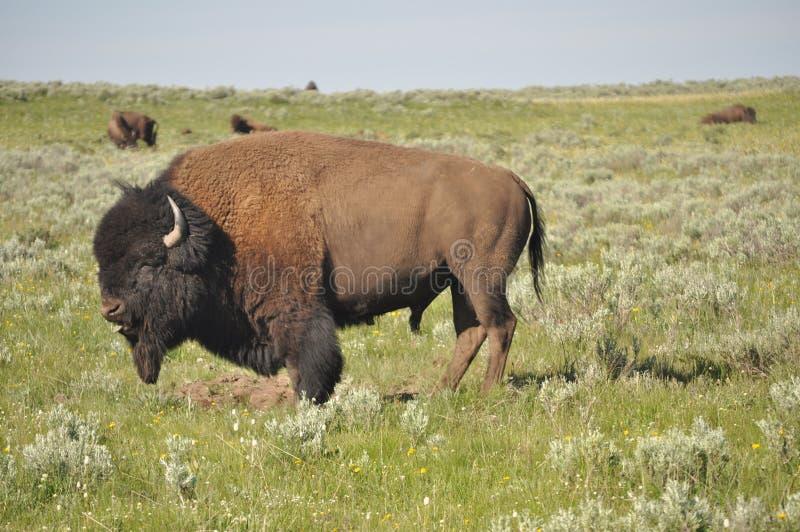 Posição do búfalo do bisonte americano fotografia de stock royalty free