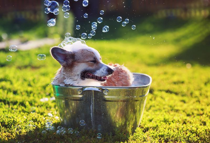 a posição do cão de cachorrinho em uma bacia do metal, é refrigerada, lavado na rua no verão em um dia ensolarado quente com sabã fotos de stock royalty free