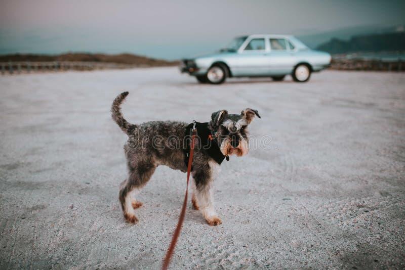 Posição do cão do Schnauzer em uma trela na areia com um claro - carro azul do vintage no fundo imagem de stock