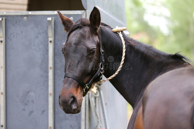 Posição do cavalo do esporte do puro-sangue ao lado de um reboque animal imagem de stock royalty free
