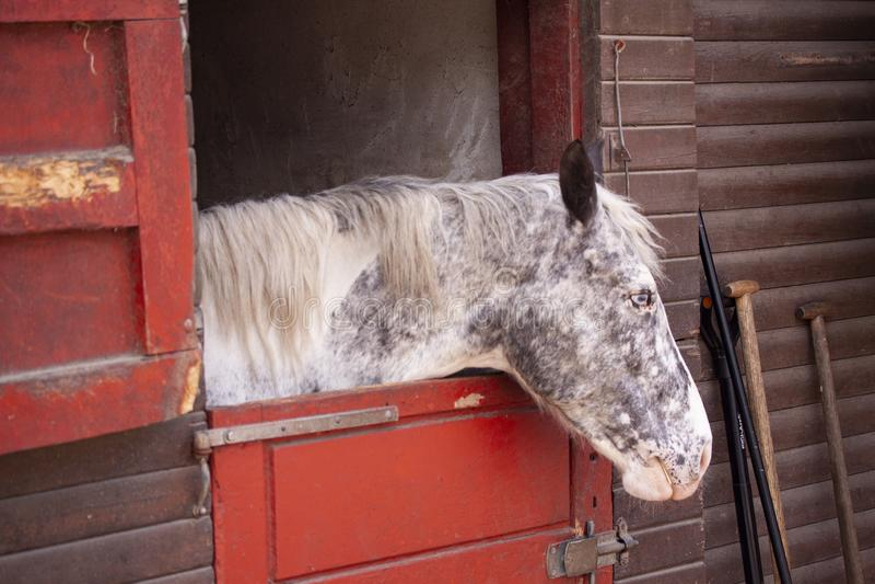 Posição do cavalo do molde no celeiro com a cabeça que olha para fora a porta estável Ferramentas no lado imagens de stock