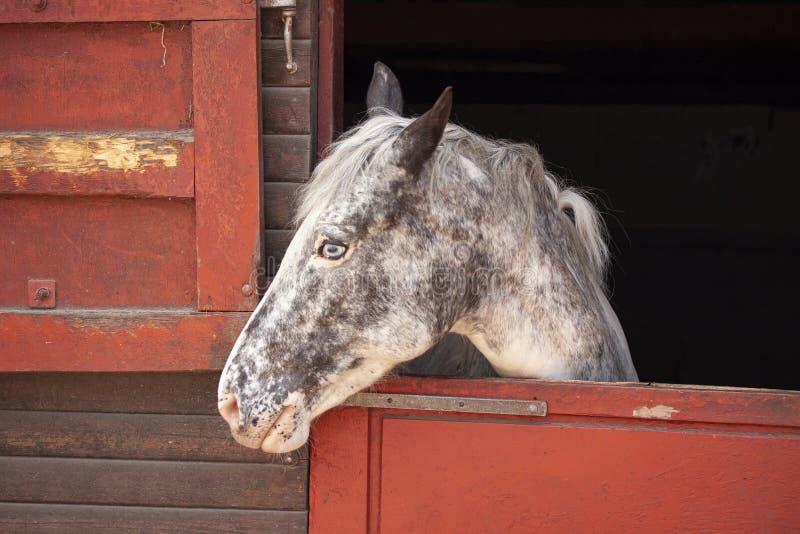 Posição do cavalo do molde no celeiro com a cabeça que olha para fora a porta estável Ferramentas no lado fotos de stock