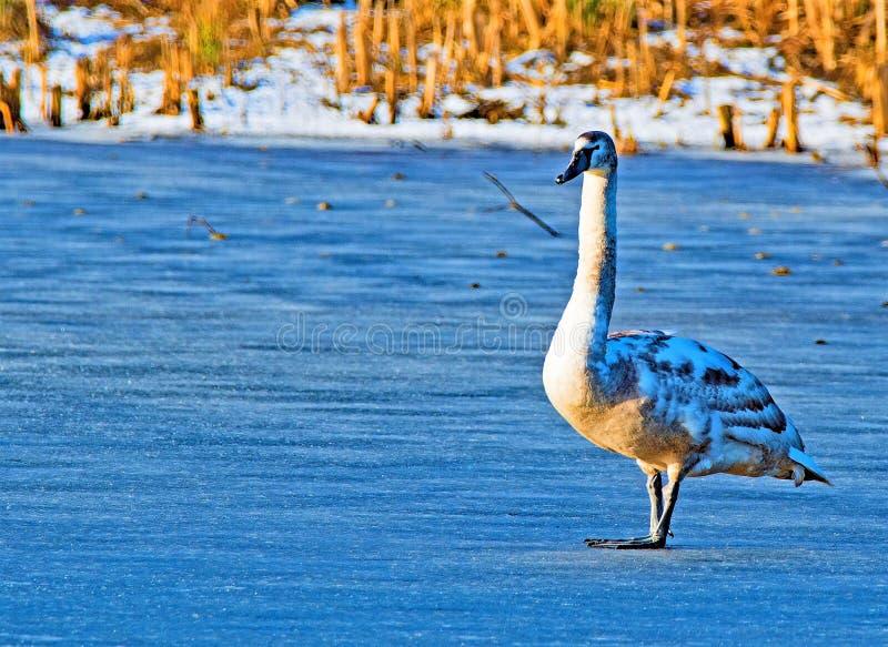 Posição do cisne novo no lago instantâneo Sprotbrough, congelado transversalmente em fevereiro fotografia de stock