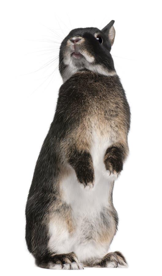 Posição do coelho nos pés traseiros na frente do fundo branco foto de stock