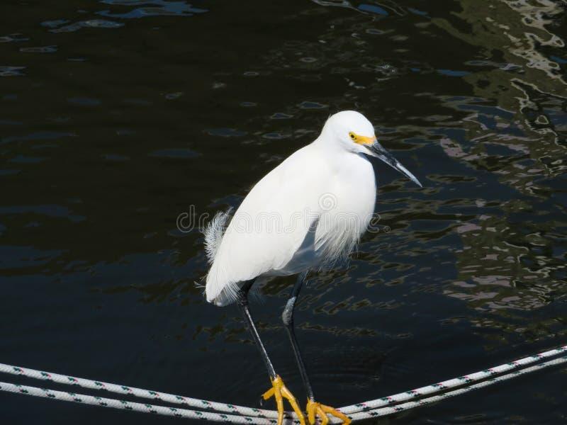 Posição do Egret de Snowy White em uma linha fotos de stock royalty free